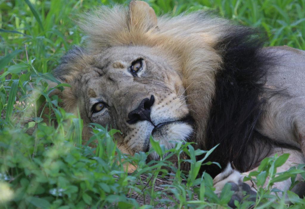 Botswana-Lion