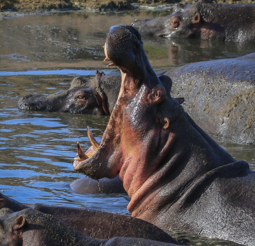 Tanzania-Hippopotamus